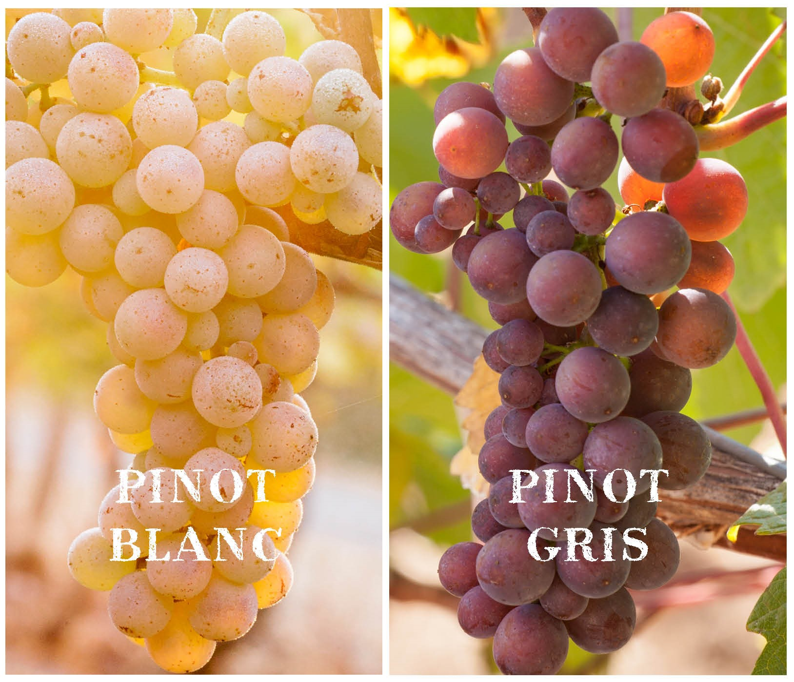 Pinot-Gris-vs-Pinot-Blanc