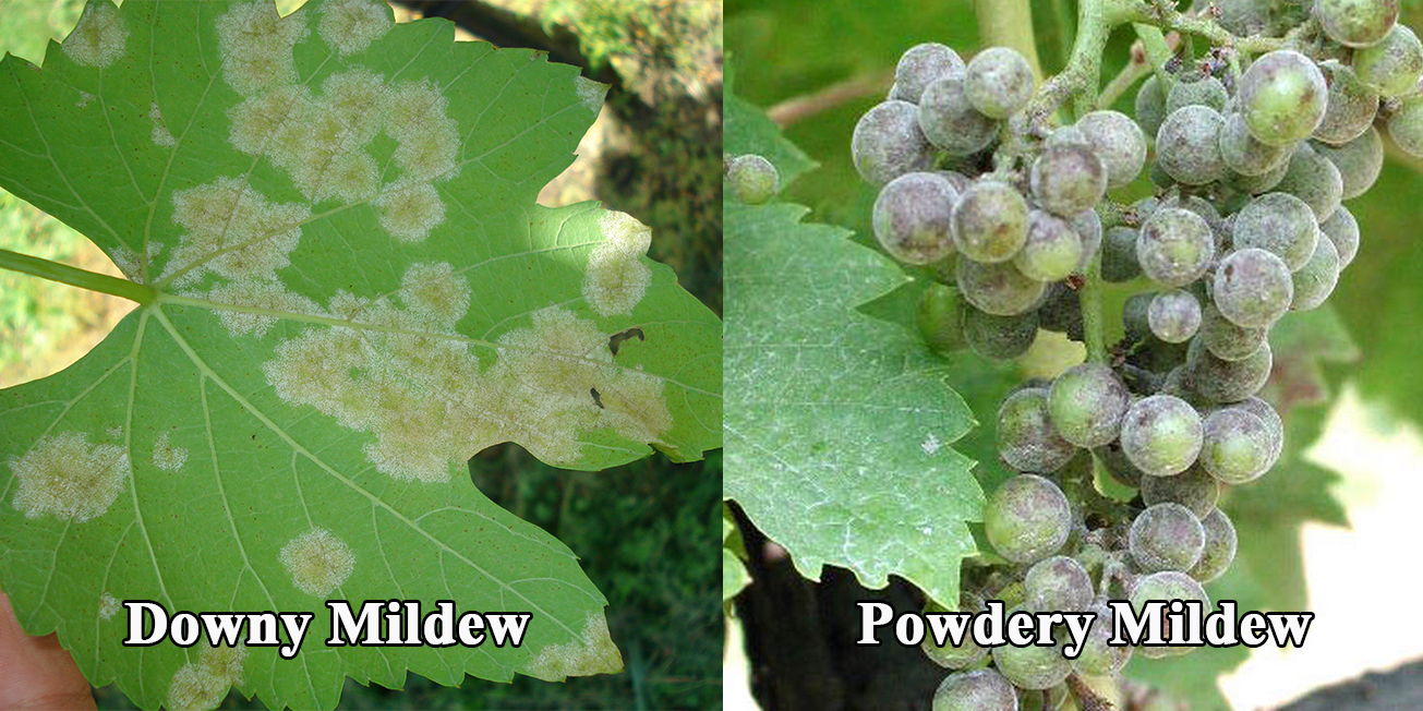 powdery-&-downy-mildew